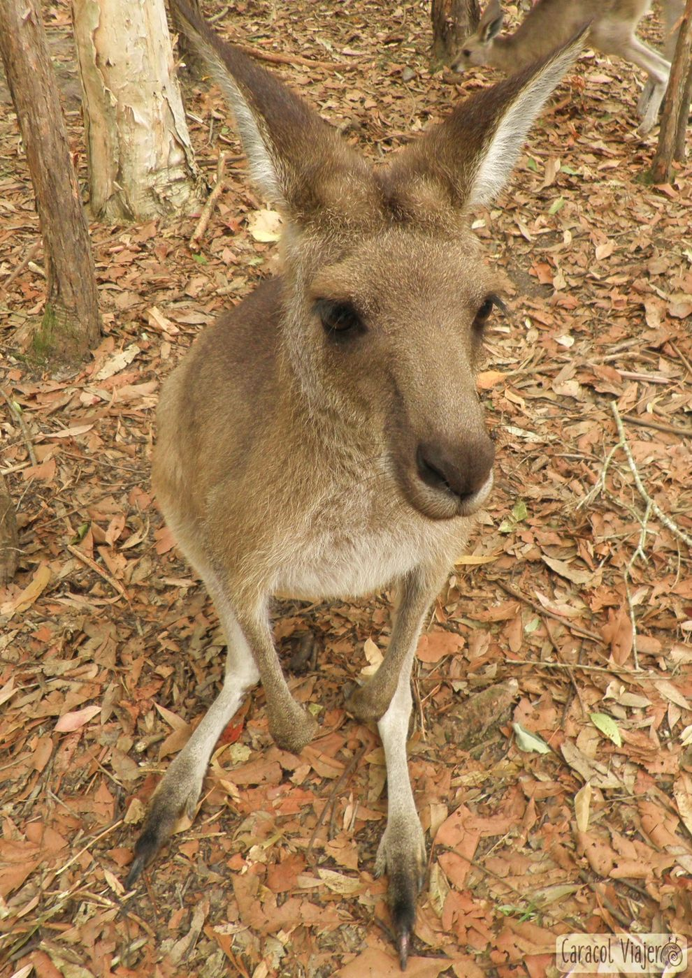 Australia-zoo-kangaroo