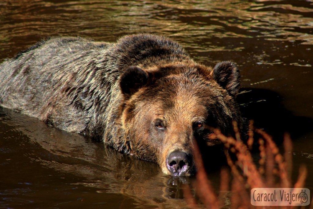 atracciones-de-Vancounver-Grizzly-Bear