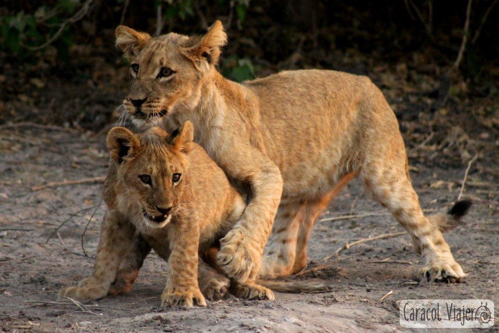 atracciones-naturales-en-Botsuana-leones