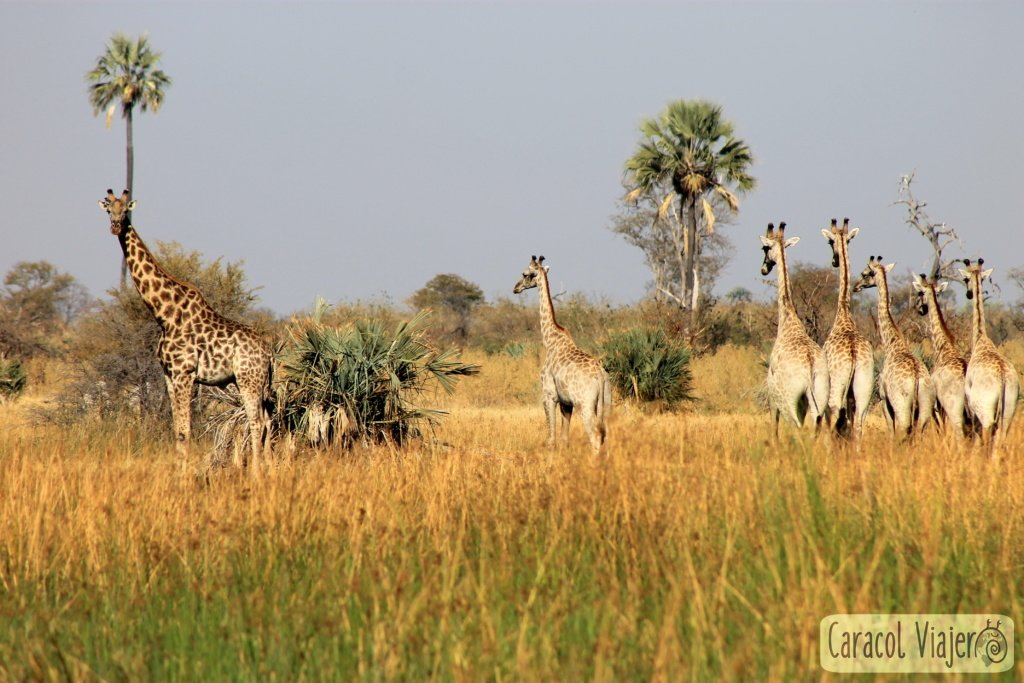 atracciones-naturales-en-Botsuana-jirafas-delta-okavango