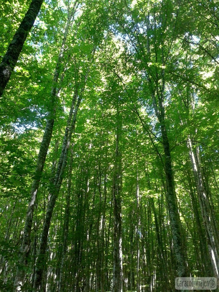 Selva de Irati en Navarra - mayor hayeda abetal de Europa
