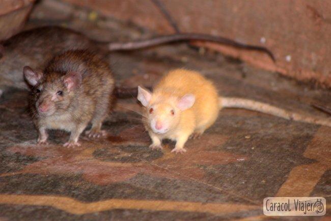 Rata blanca templo de las ratas