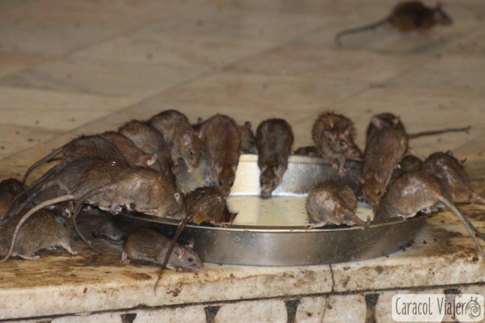 Templo de las ratas, India