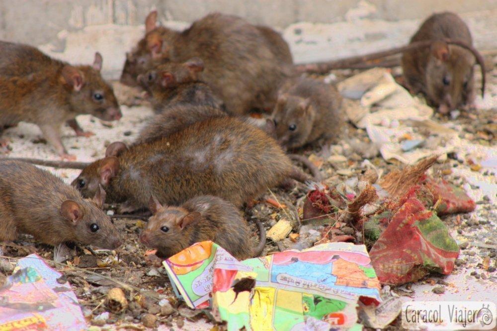 templo de las ratas