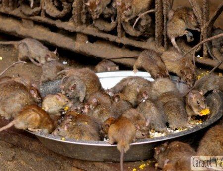 ¡El templo de las ratas de la India!