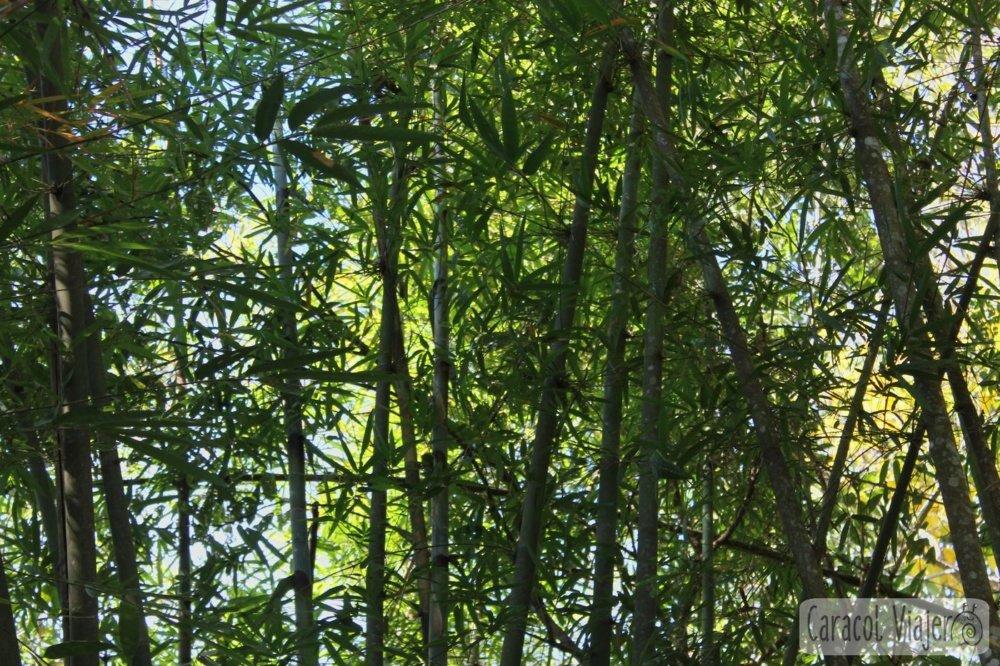 Bokeo bambú