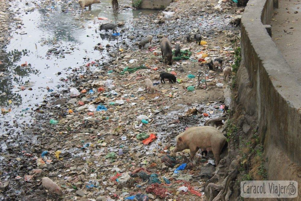 cerdos en Haridwar comiendo