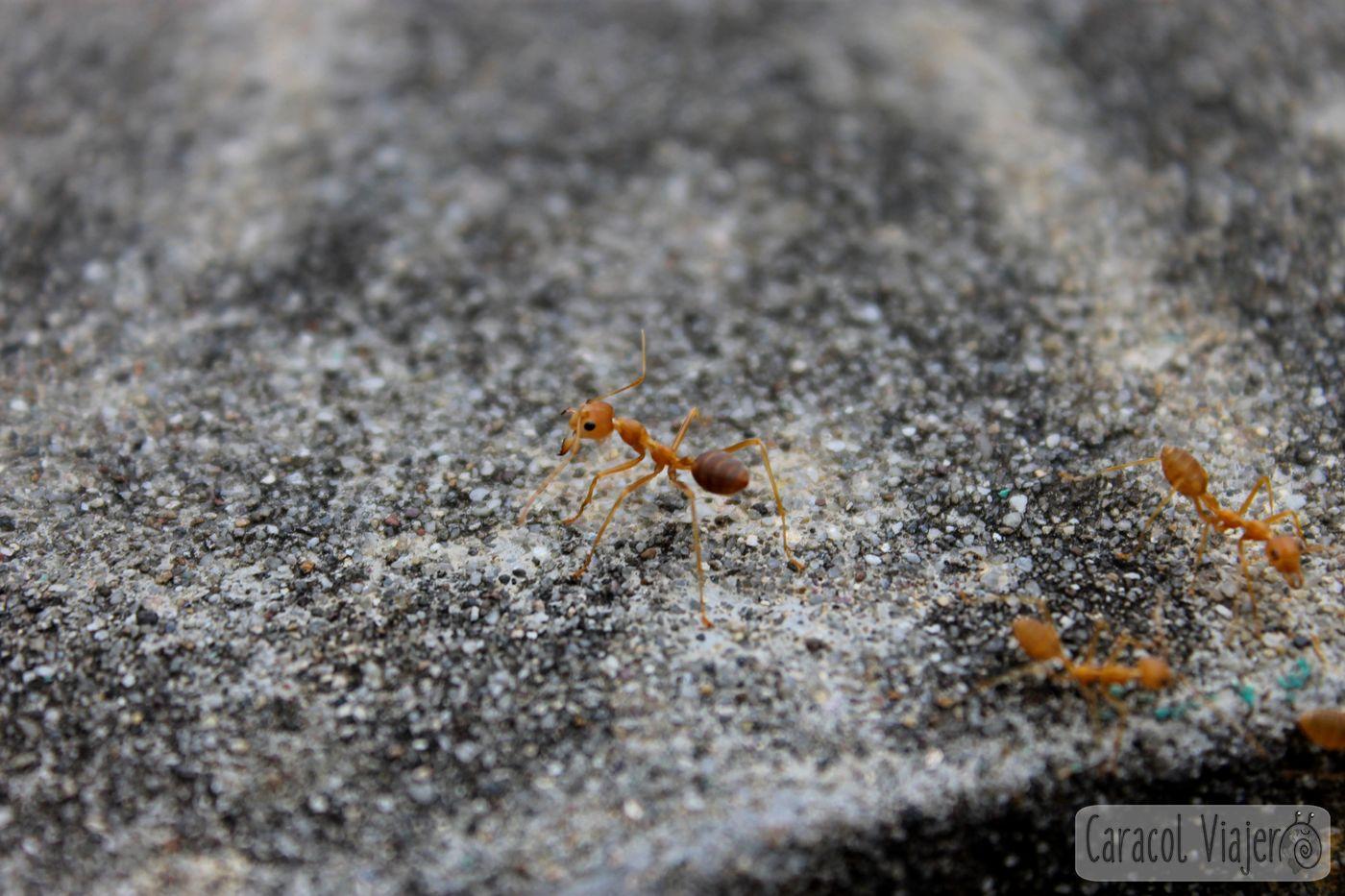 Hormigas-caballo Laos