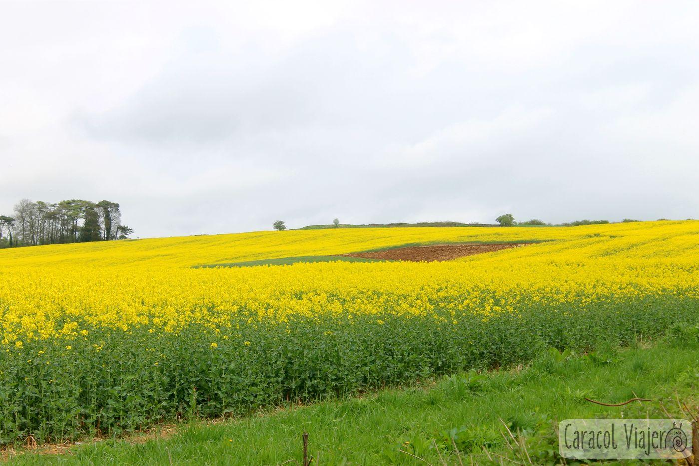 Campos de flores en Cotswolds, Inglaterra.