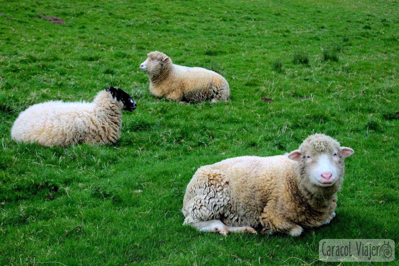 ovejas en Cotswolds, Inglaterra.