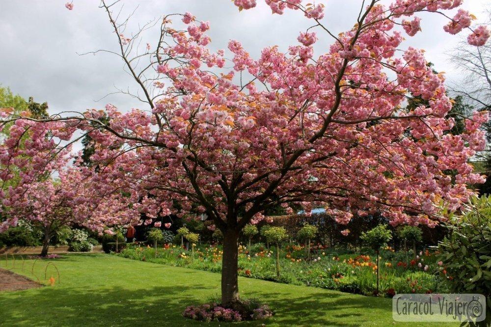 Árbol rosa Cotswolds. Inglaterra