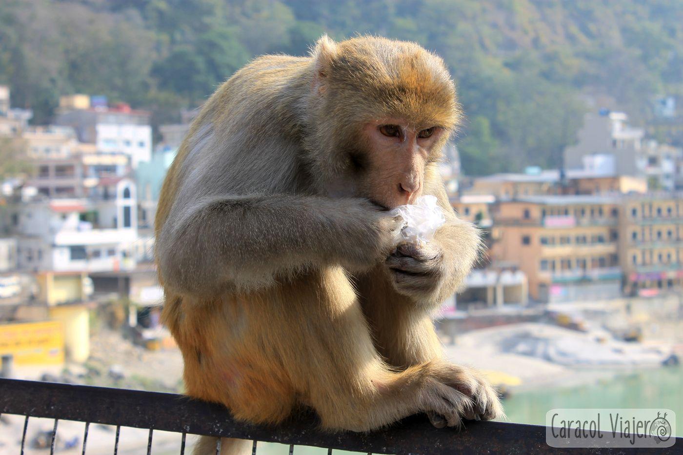 Monos puente Lakshman Jhula