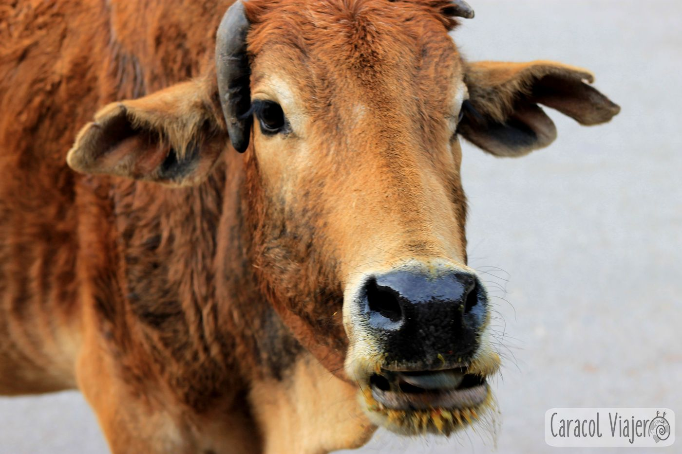 Vaca Rishikesh