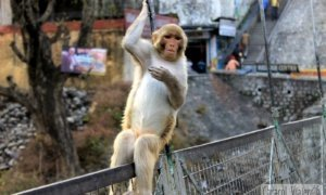 La capital mundial del yoga… ¡y de los monos!