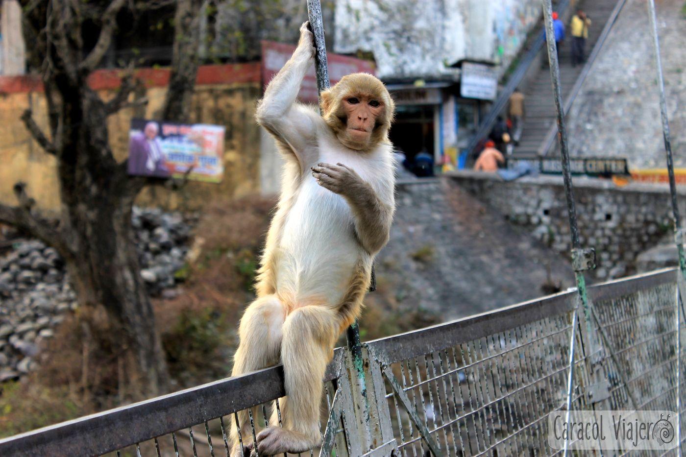 capital mundial del yoga y de los monos