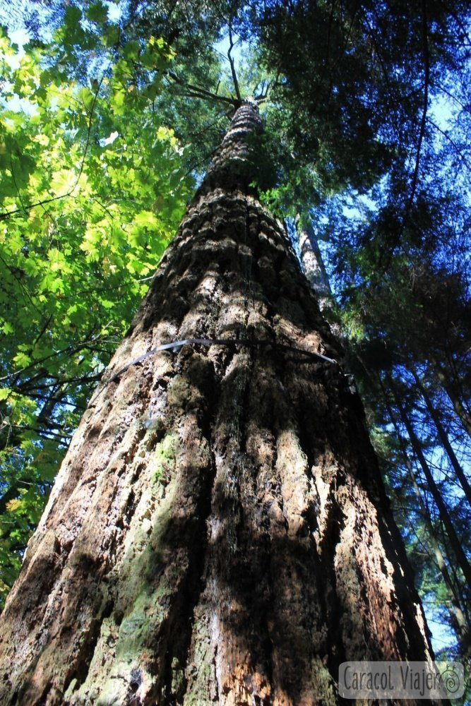 Abeto de Douglas árbol canadiense