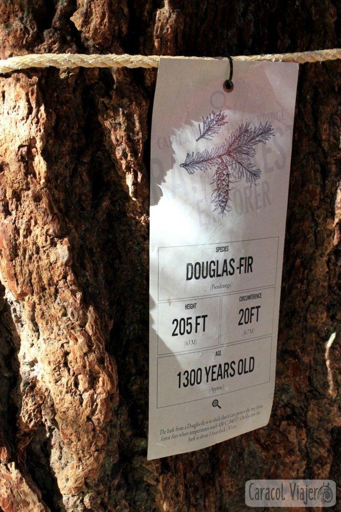 Edad árbol canadiense