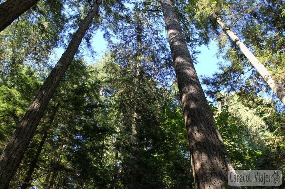 Capilano Bridge árboles