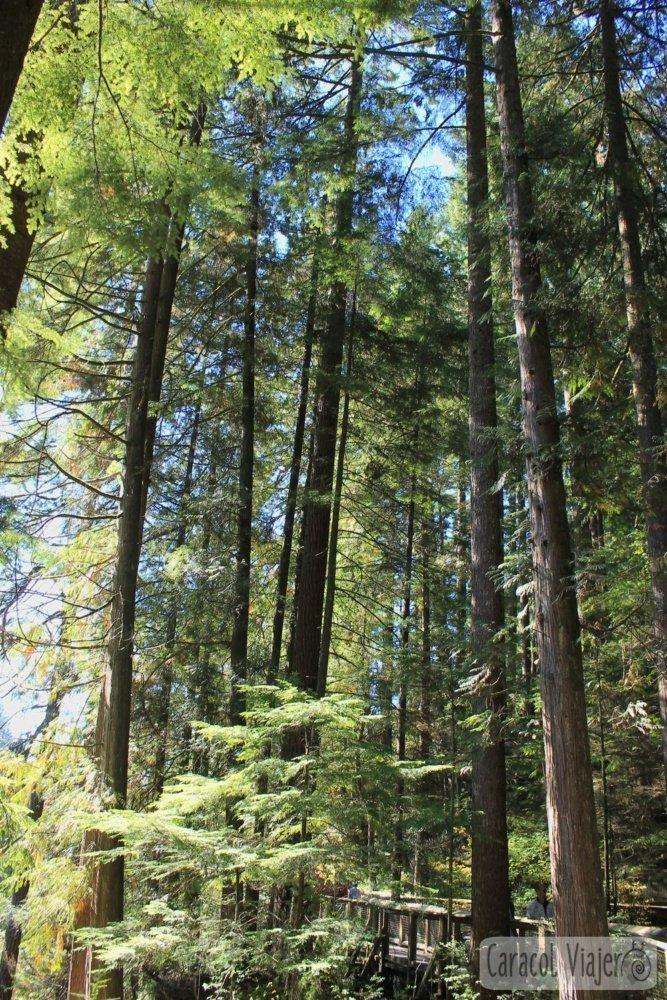 especies árboles Vancouver