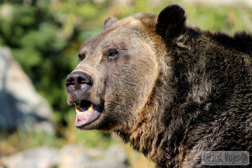 oso pardo Vancouver
