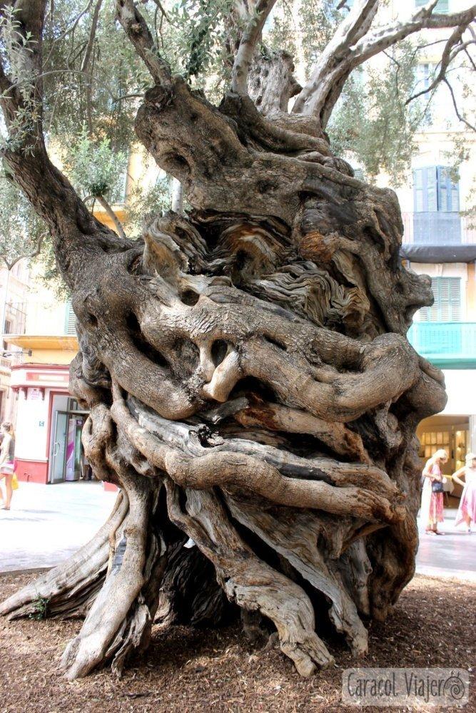 Olivo de 600 años Palma