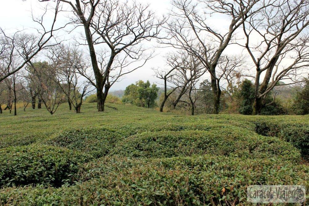 Plantaciones té India