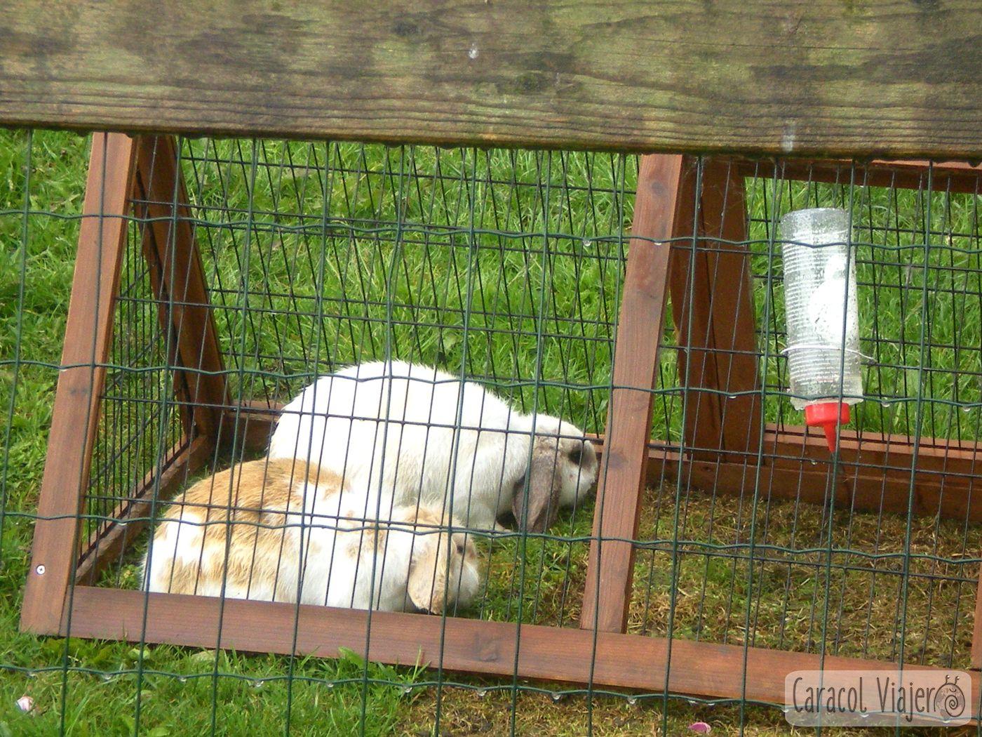 Conejos en Holanda