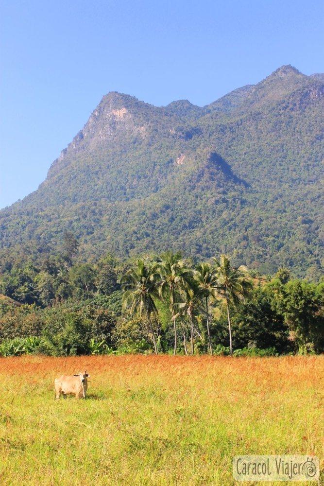 Chiang Dao montaña y vaca