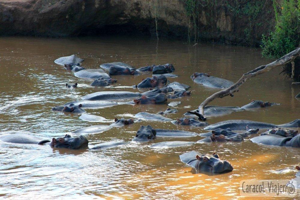 Río Mara hipopótamos