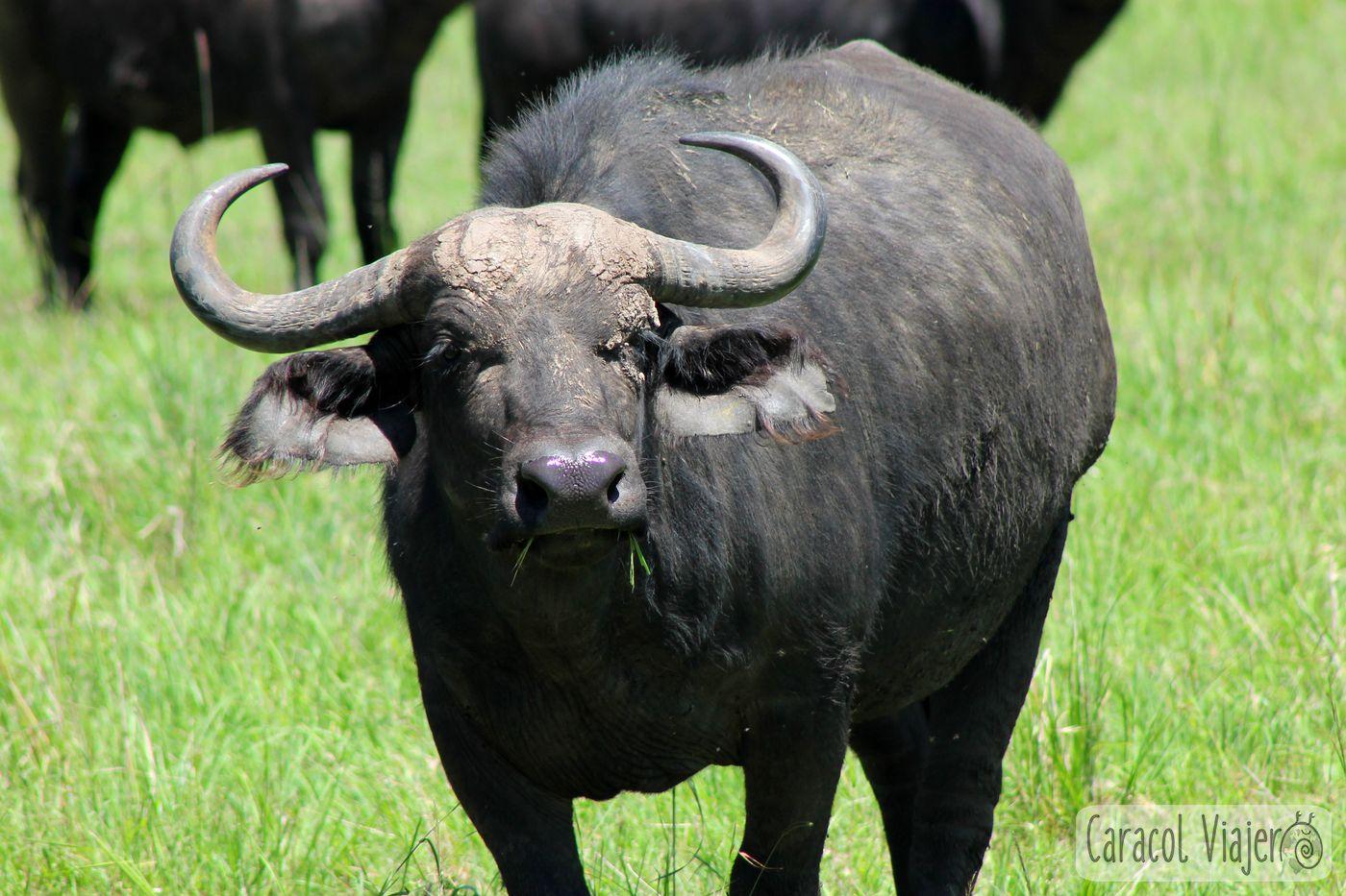 Búfalo en Masai Mara