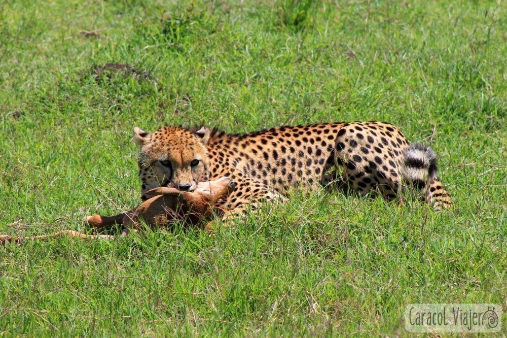 Guepardo en Masai Mara con topi