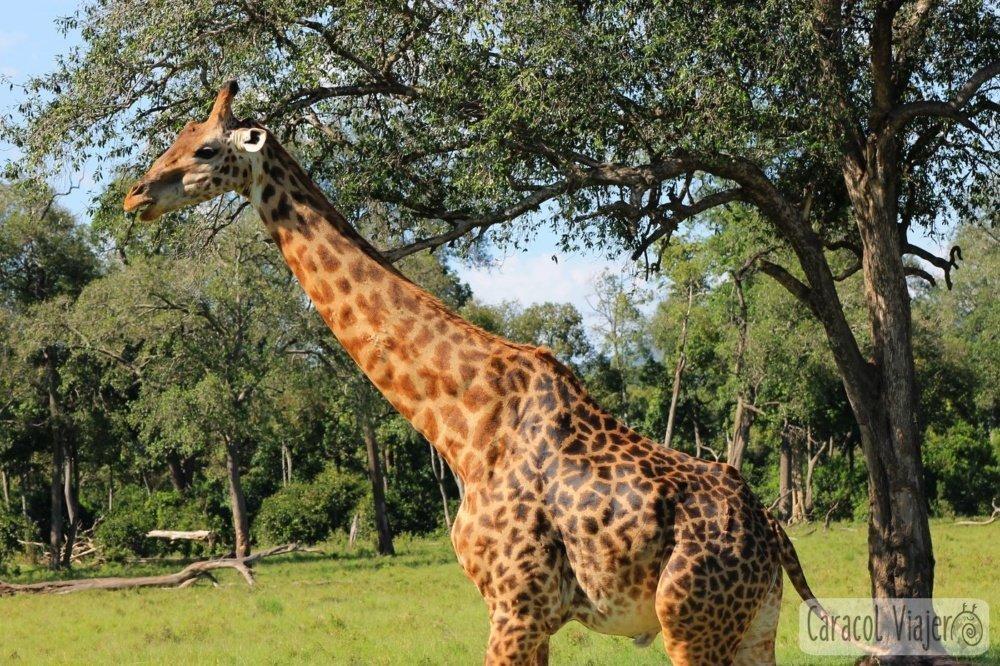 Jirafa alimentación Masai Mara