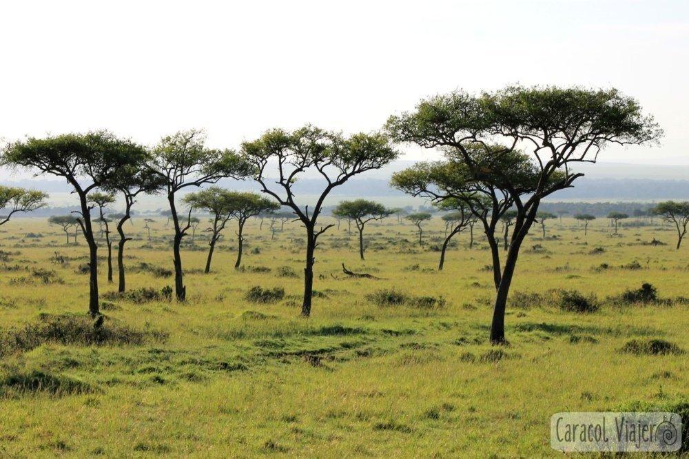 Acacias en Masai Mara