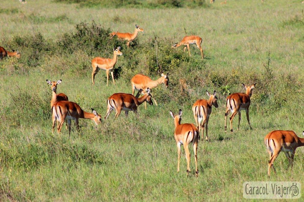Impalas en Masai Mara