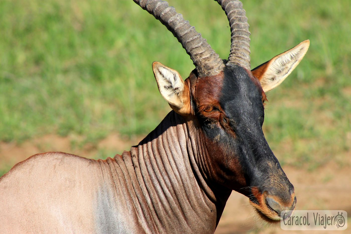 Topi antílope en Kenia