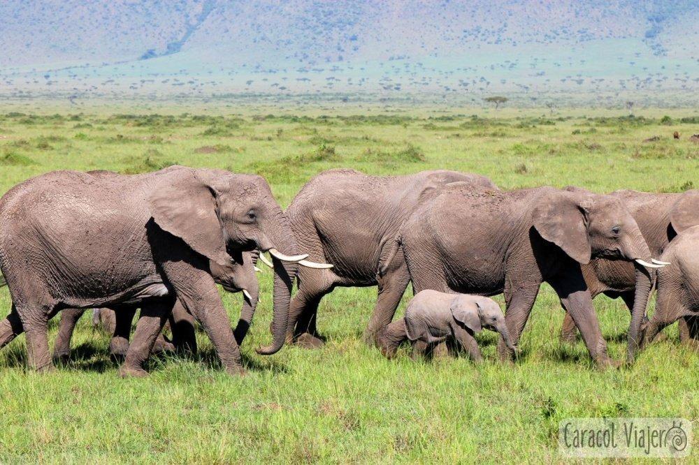 Masai Mara elefantes