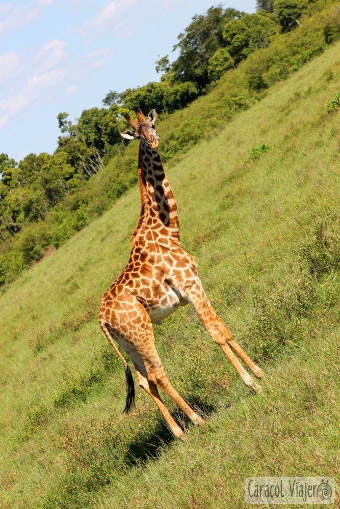 Una jirafa modelo en Masai Mara