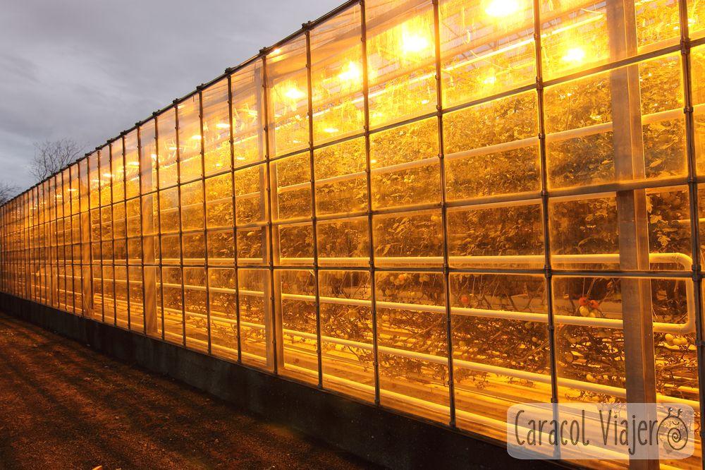 Invernaderos de tomate en Islandia