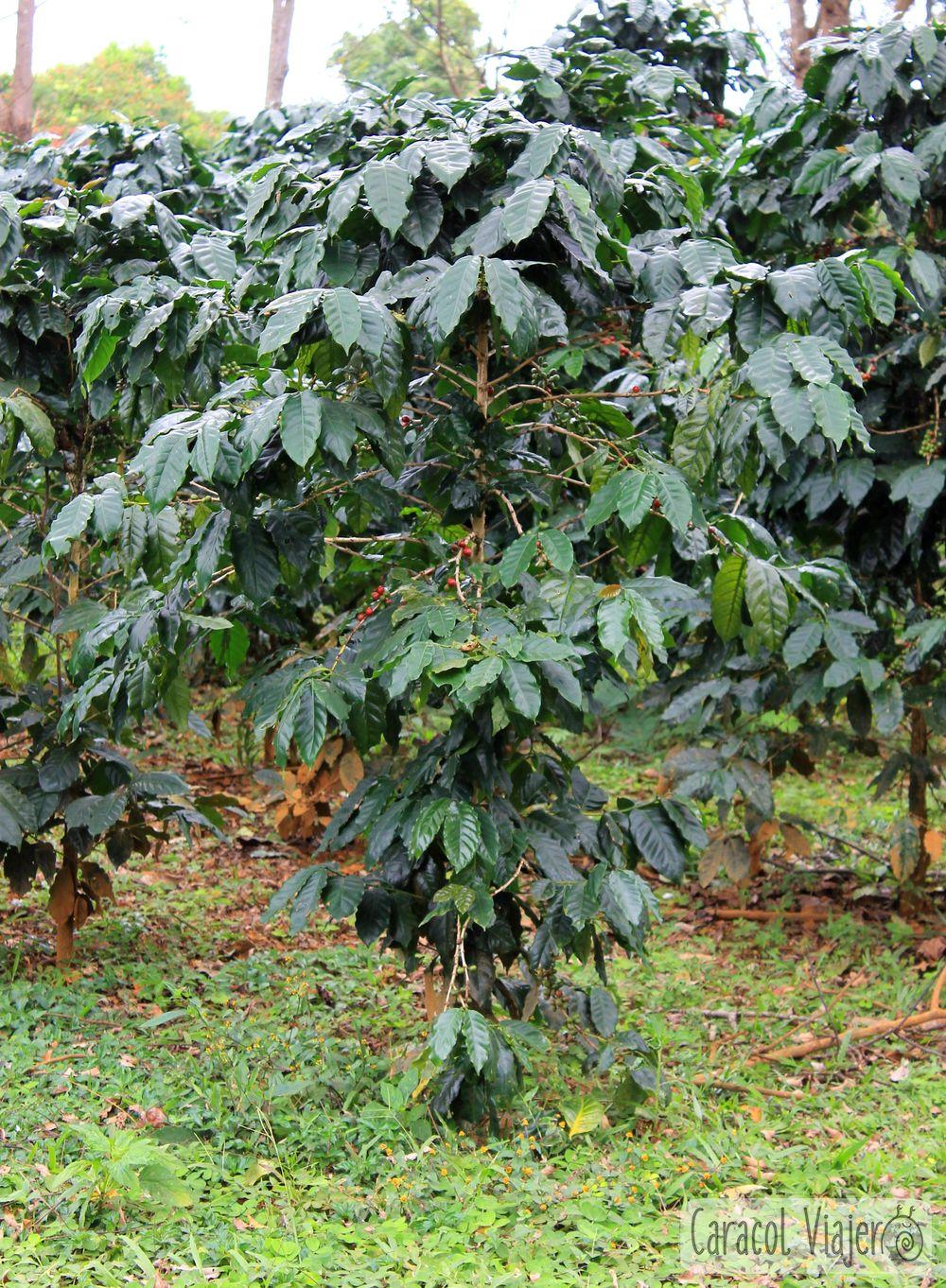 Las plantas de café en la meseta Bolaven