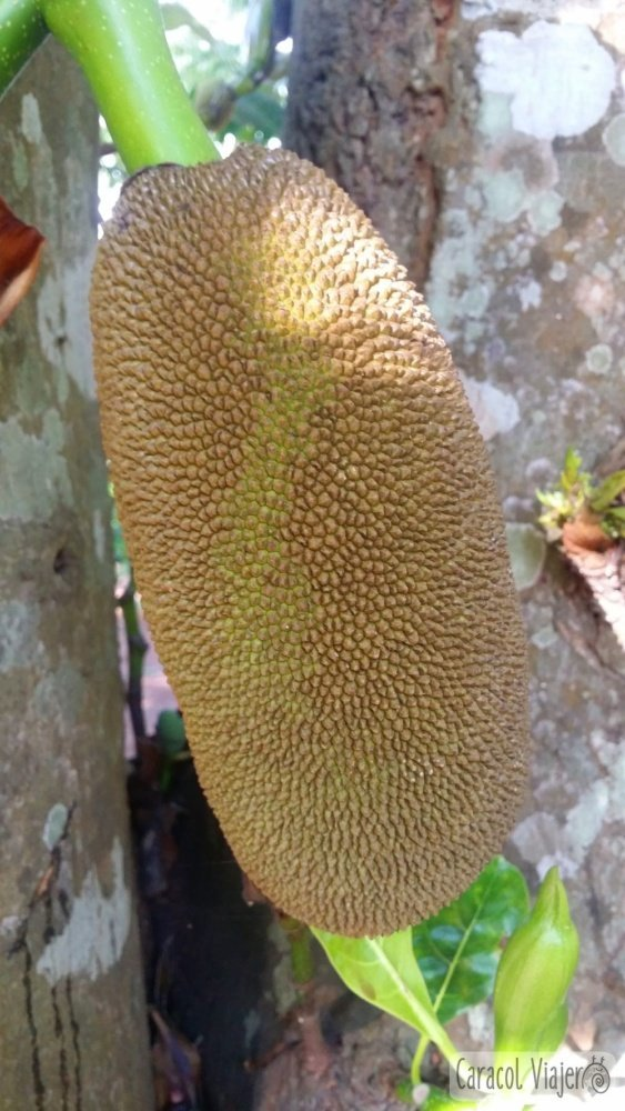 Bolaven Plateau jackfruit