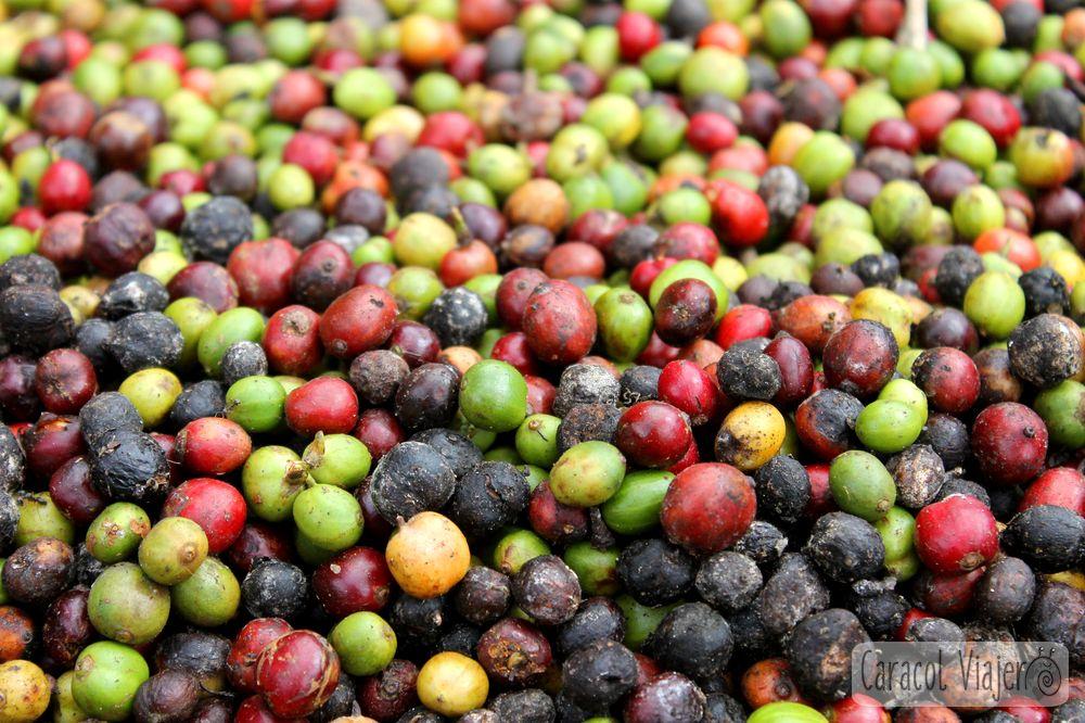 Bayas de café en Laos