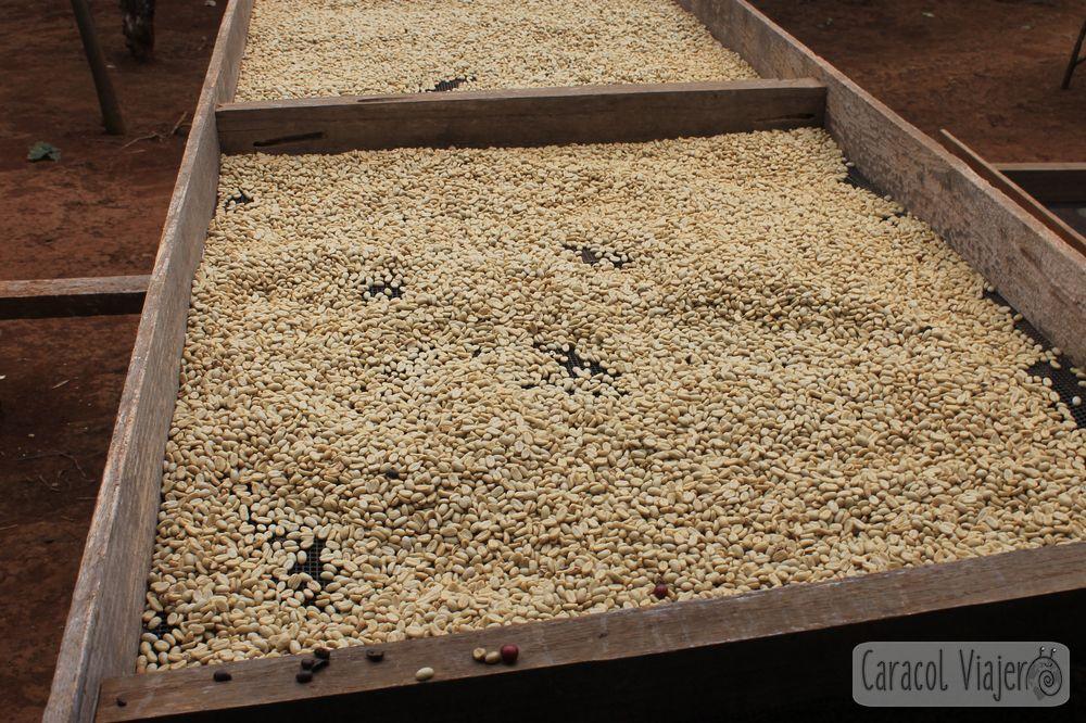 Café en Laos bayas