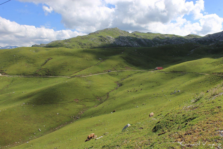 Vacas en Picos de Europa