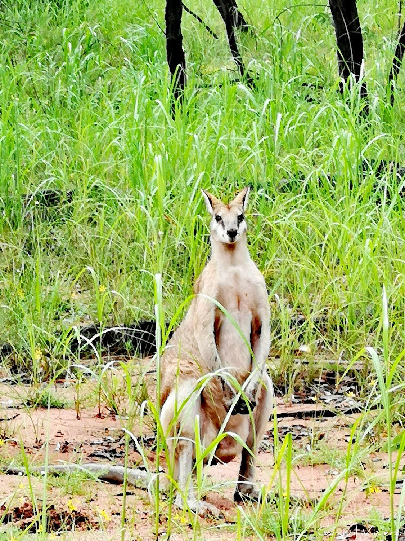 Canguro en parque nacional kakadu