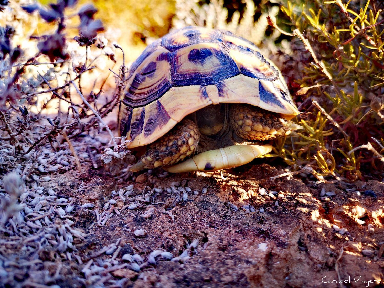 tortuga en caló des mrmols