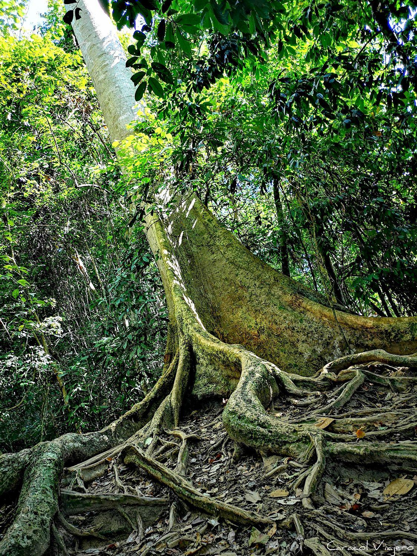 árboles en Taman Negara